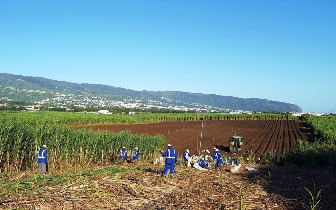 Des essais de culture de cannes Bio pour permettre la production de sucre Bio