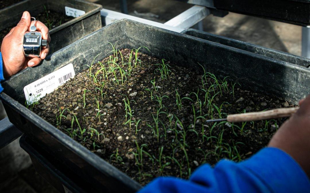 Au sein du service Création Variétale, la campagne de semis de canne se termine